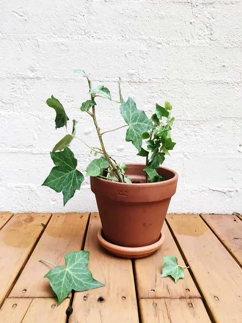 Grape Ivy #houseplant #cuttings #grow #decorhomeideas