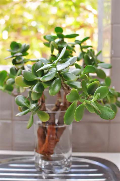 Jade Plant #houseplant #cuttings #grow #decorhomeideas