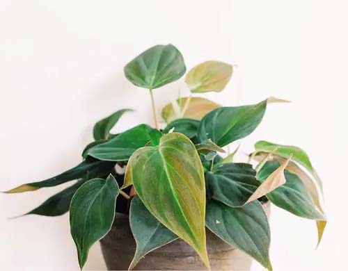 Philodendron #houseplant #cuttings #grow #decorhomeideas
