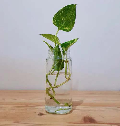Pothos #houseplant #cuttings #grow #decorhomeideas