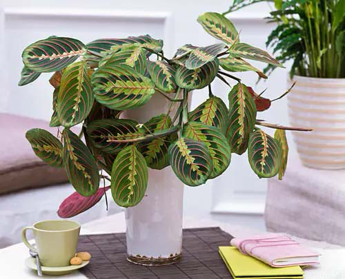 Prayer Plant #houseplant #cuttings #grow #decorhomeideas