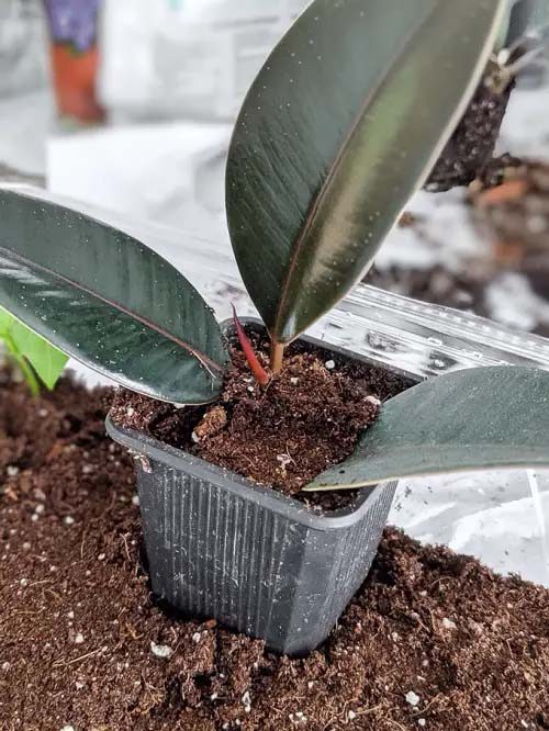 Rubber Tree #houseplant #cuttings #grow #decorhomeideas