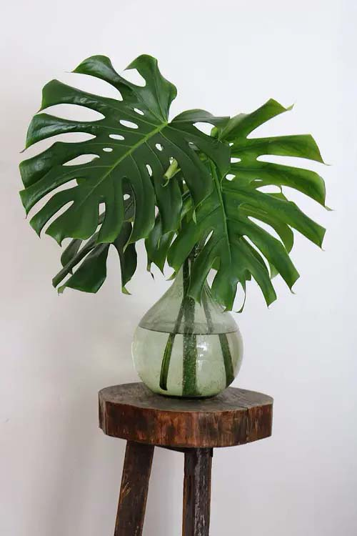Swiss Cheese Plant #houseplant #cuttings #grow #decorhomeideas