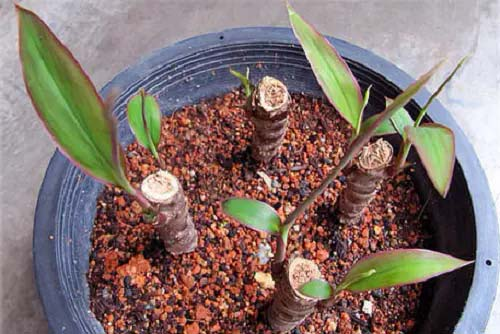 Ti Plant #houseplant #cuttings #grow #decorhomeideas