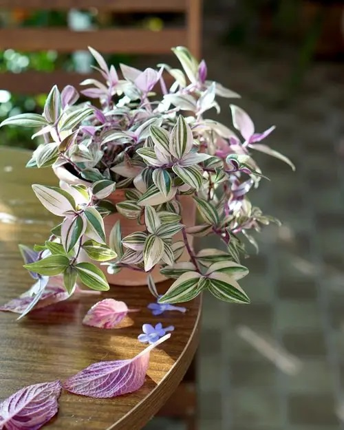 Tradescantia #houseplant #cuttings #grow #decorhomeideas