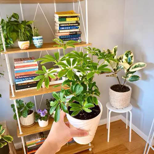 Umbrella Tree #houseplant #cuttings #grow #decorhomeideas
