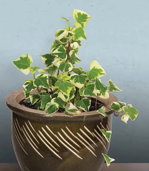 Wax Ivy #houseplant #cuttings #grow #decorhomeideas