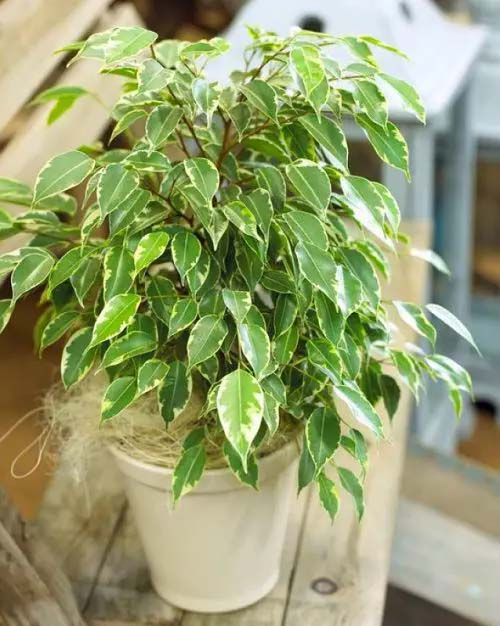 Weeping Fig #houseplant #cuttings #grow #decorhomeideas