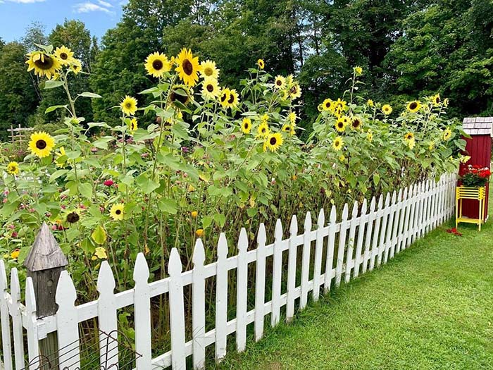 Adorable Country Sunflowers with a White Picket Fence #sunflower #garden #decorhomeideas