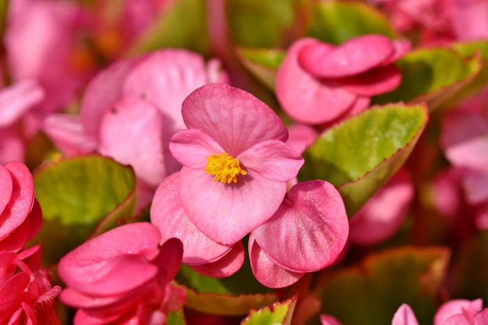 Begonias (Begonia Groups and Hybrids) #shadeplants #garden #containers #decorhomeideas