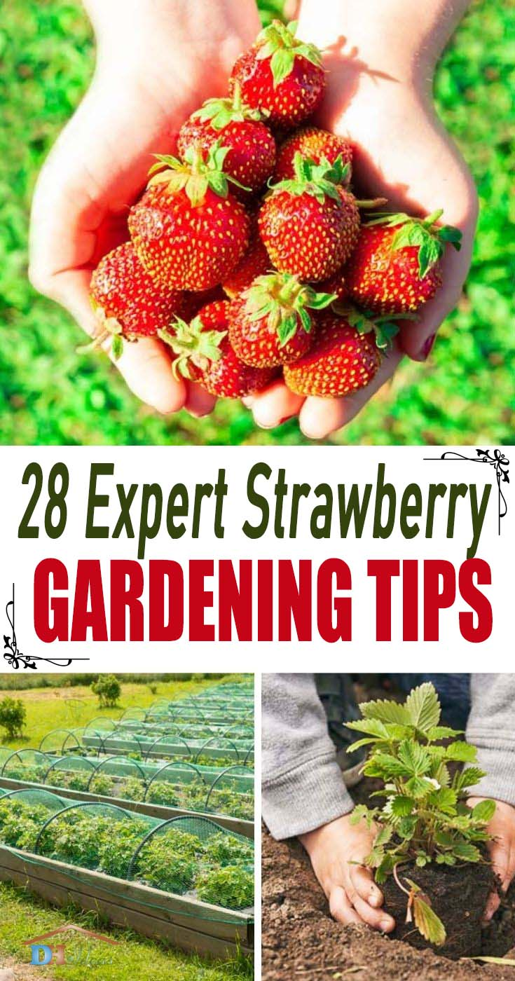 Best Strawberry Gardening Tips. Expert tips and ideas on the best way to grow strawberry plants in your backyard garden. These tips will help you care for and have the best strawberries to harvest. #strawberry #strawberryplants #strawberryplantsideas #decorhomeideas