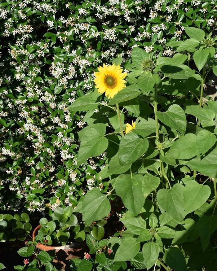Lines of Sunflowers in Front of a Sculpted Hedge #sunflower #garden #decorhomeideas
