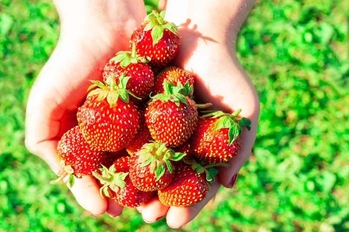 Strawberry Harvest In Hands