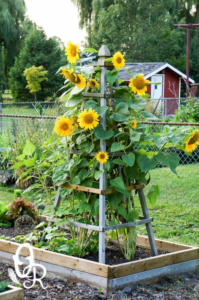 Wooden Plant Cage and Trellis Overflowing with Sunflowers #sunflower #garden #decorhomeideas