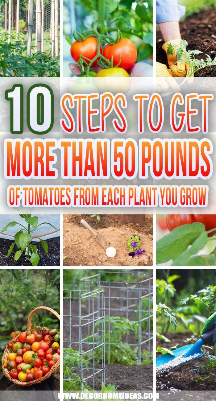 10 Simple Steps To Grow Plenty Of Tomatoes. Follow these simple steps to get more than 50 pounds of tomatoes from each plant you grow - they are easy to do and will help you with getting the best from your tomato plants. #decorhomeideas