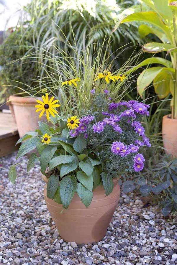 Aster-To-Grow-In-Container #blueflowers #gardencontainers #decorhomeideas