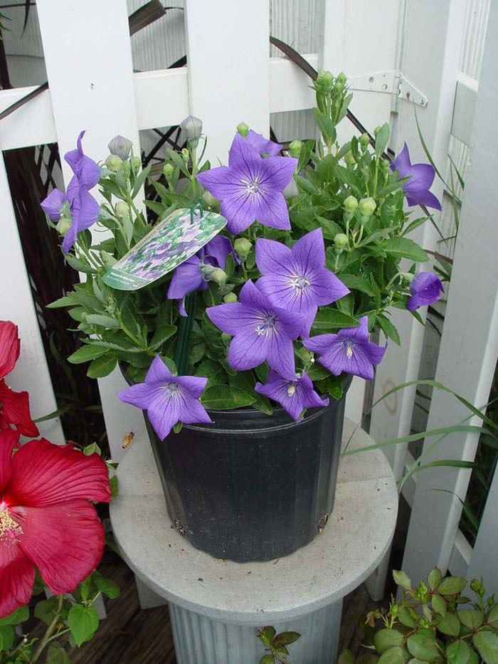 Balloon Flower-To-Grow-In-Container #blueflowers #gardencontainers #decorhomeideas