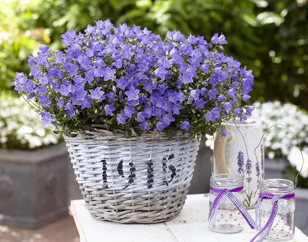 Bellflower-To-Grow-In-Container #blueflowers #gardencontainers #decorhomeideas