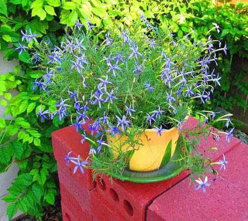 Beth's Blue-To-Grow-In-Container #blueflowers #gardencontainers #decorhomeideas