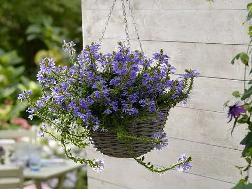 Blue Fan Flower-To-Grow-In-Container #blueflowers #gardencontainers #decorhomeideas