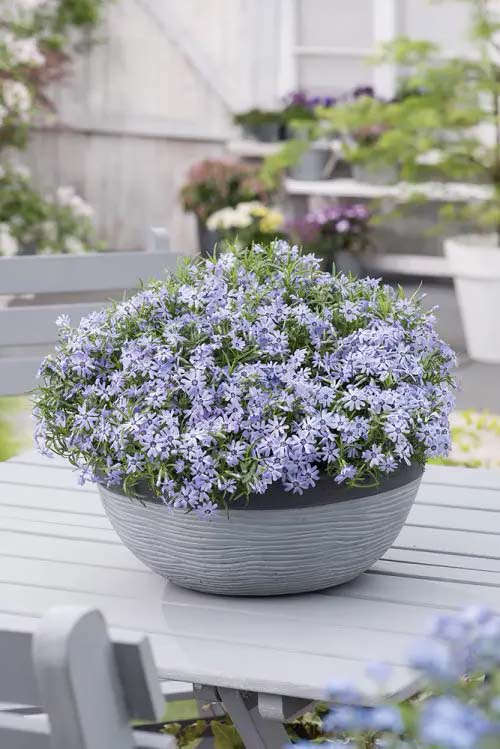 Blue Phlox-To-Grow-In-Container #blueflowers #gardencontainers #decorhomeideas