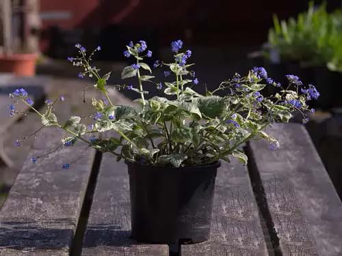 Brunnera-To-Grow-In-Container #blueflowers #gardencontainers #decorhomeideas