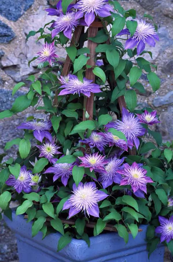 Clematis-To-Grow-In-Container #blueflowers #gardencontainers #decorhomeideas