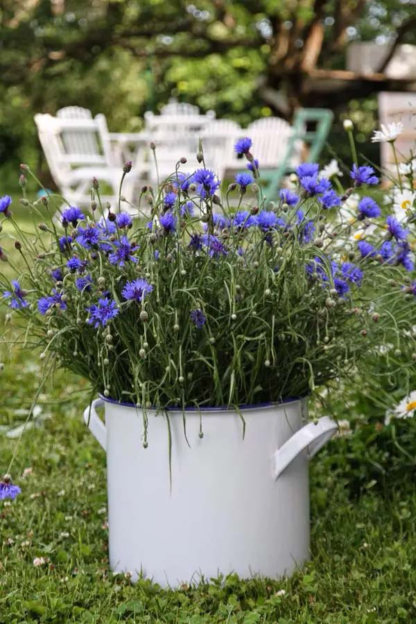 Cornflower (Bachelor's Button)-To-Grow-In-Container #blueflowers #gardencontainers #decorhomeideas