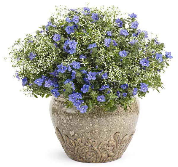 Dwarf Morning Glory-To-Grow-In-Container #blueflowers #gardencontainers #decorhomeideas