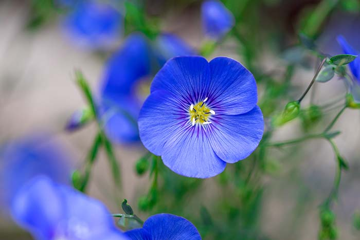 Flax Flower-To-Grow-In-Container #blueflowers #gardencontainers #decorhomeideas
