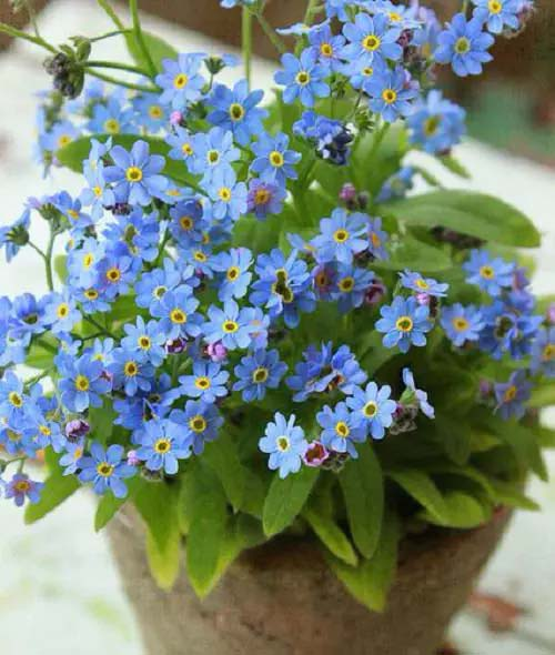 Forget-me-Not-To-Grow-In-Container #blueflowers #gardencontainers #decorhomeideas