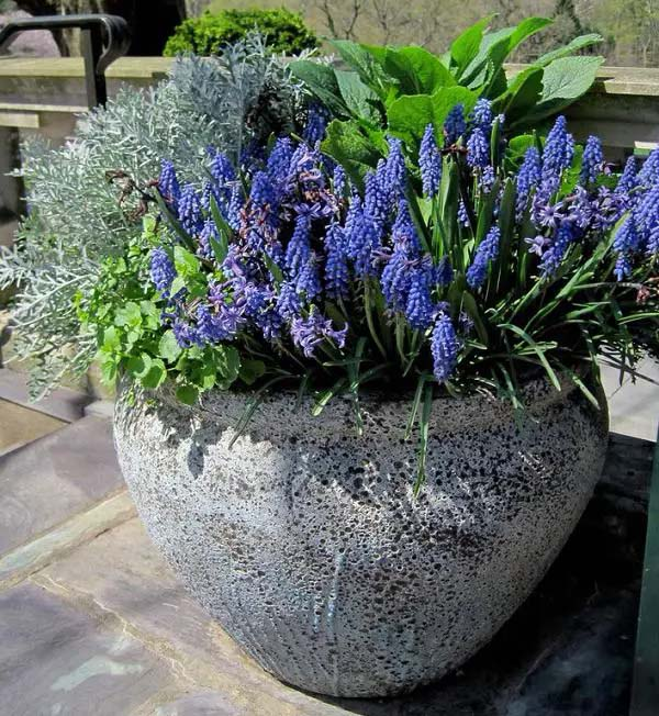 Grape Hyacinth-To-Grow-In-Container #blueflowers #gardencontainers #decorhomeideas