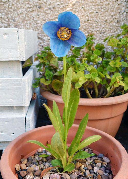 Himalayan Blue Poppy-To-Grow-In-Container #blueflowers #gardencontainers #decorhomeideas