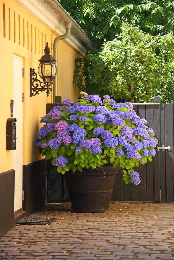 Hydrangea-To-Grow-In-Container #blueflowers #gardencontainers #decorhomeideas