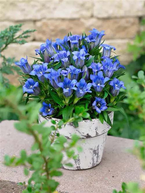 Japanese Gentian-To-Grow-In-Container #blueflowers #gardencontainers #decorhomeideas
