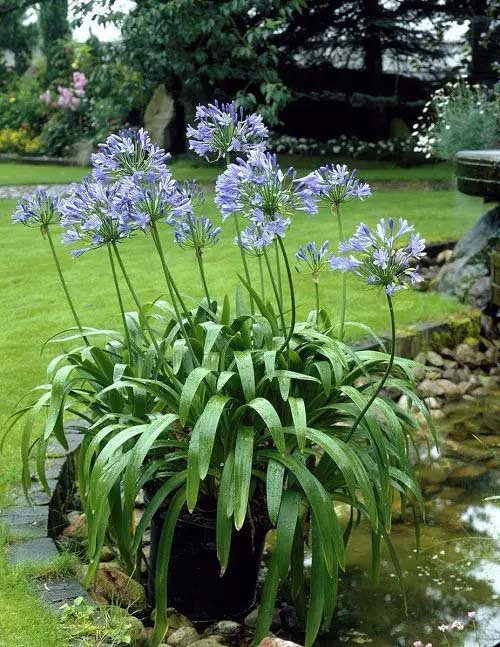 Lily of the Nile-To-Grow-In-Container #blueflowers #gardencontainers #decorhomeideas