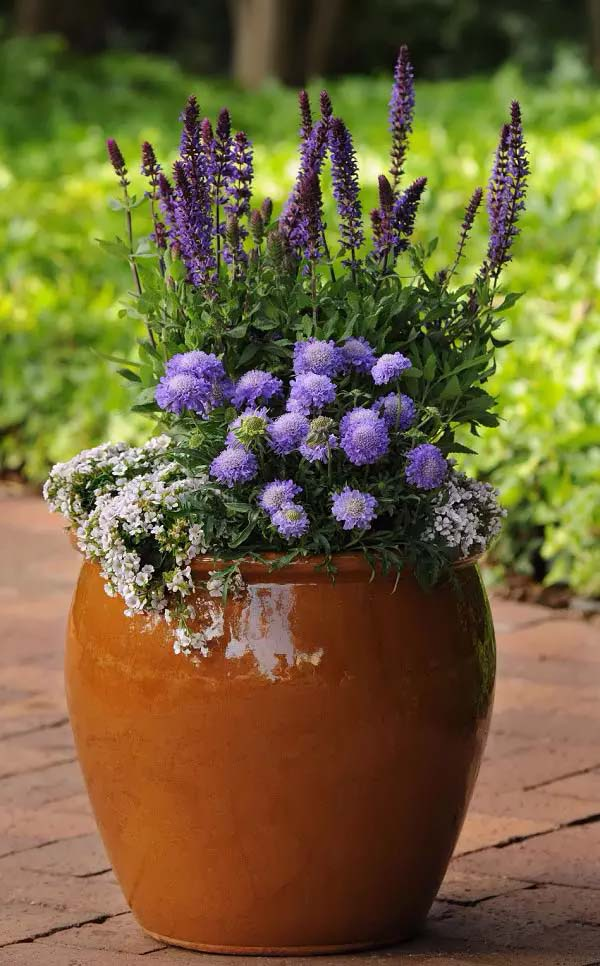 Pincushion Flower-To-Grow-In-Container #blueflowers #gardencontainers #decorhomeideas