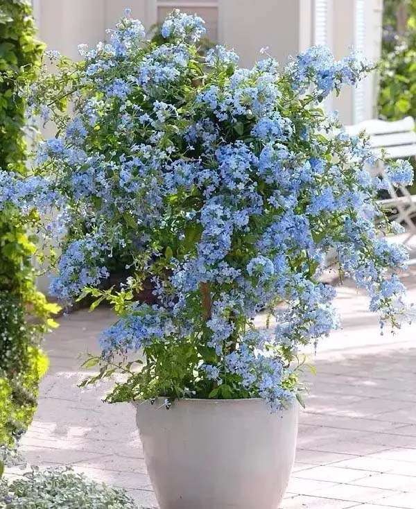 Plumbago-To-Grow-In-Container #blueflowers #gardencontainers #decorhomeideas