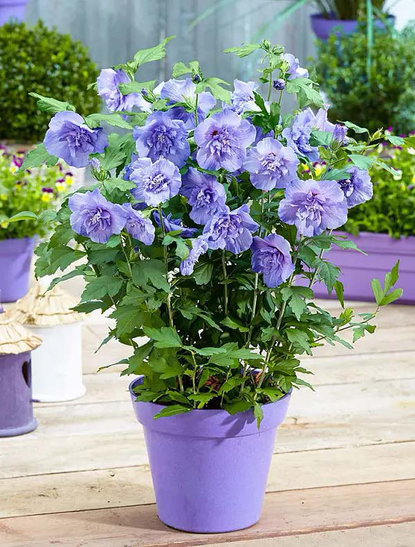 Rose of Sharon-To-Grow-In-Container #blueflowers #gardencontainers #decorhomeideas