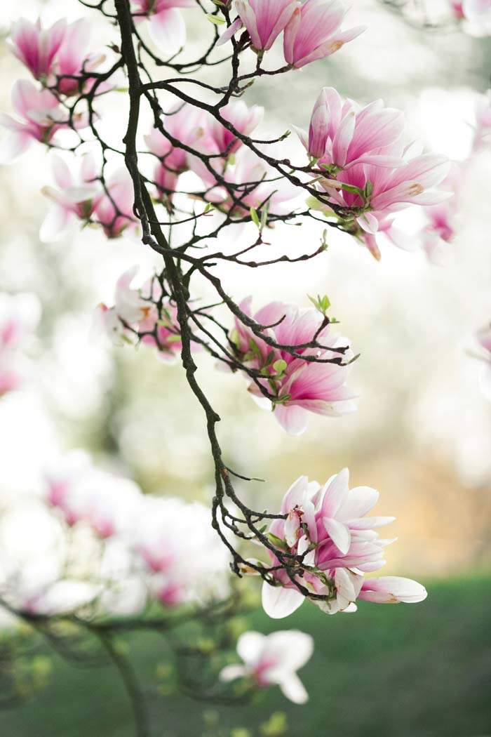 Southern Magnolia #bloomingtrees #summertrees #decorhomeideas