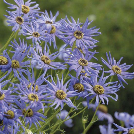 Swan River Daisy-To-Grow-In-Container #blueflowers #gardencontainers #decorhomeideas