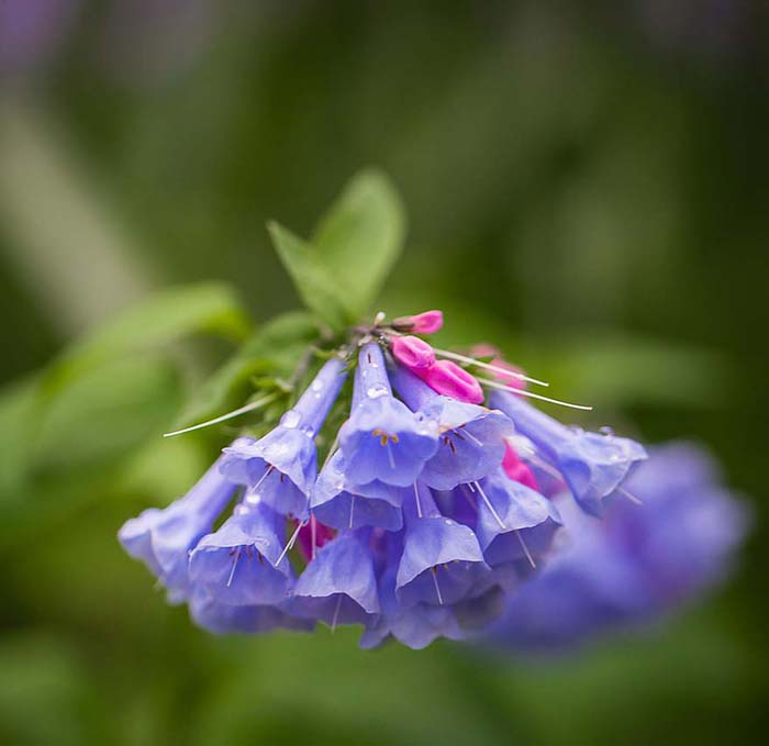 Virginia Bluebells-To-Grow-In-Container #blueflowers #gardencontainers #decorhomeideas