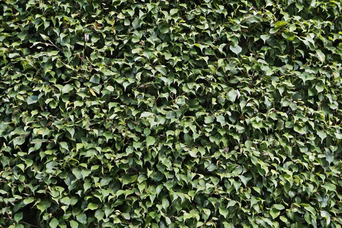Weeping Fig #privacyfence #plants #decorhomeideas