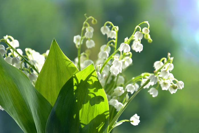 Lily of the Valley Shrub (also known as Japanese Pieris or Andromeda) #shadelovingperennials #decorhomeideas